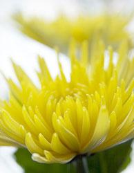 pic of a yellow chrysanthemum.jpg