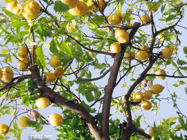 Lemon tree in Sorrento