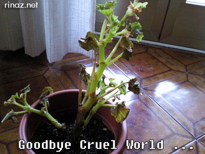 Dead Begonia