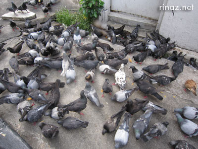Loads of pigeons