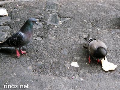 Pigeon - rinaz.net
